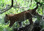 Sri Lanka Urlaub | Leopard im Yala Natioalpark
