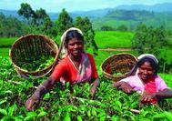 Sri Lanka Urlaub | Teepflückerinnen in Nuwara Eliya