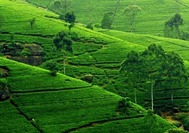 Sri Lanka | Teeplantage Nuwara Eliya