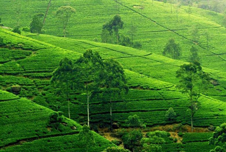 Sri Lanka | Nuwara Eliya Tee Plantage