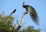 Sri Lanka Urlaub | Tiere Strauss