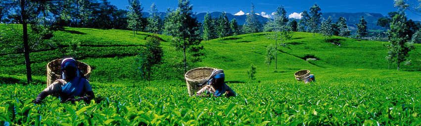 Sri Lanka Urlaub | Teefelder