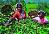Sri Lanka Urlaub | Teepflückerinnen